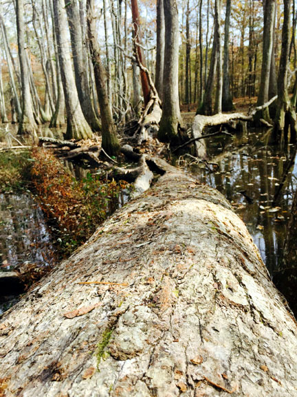 Cypress Swamp - Mississippi Fall Foliage