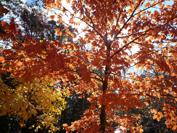 Sun Shining thru Tree at Jeff Busby Park - Mississippi Fall Foliage
