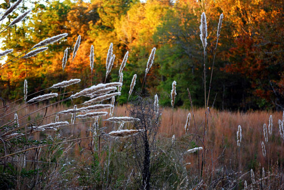 Tall Grasses - Mississippi Fall Foliage