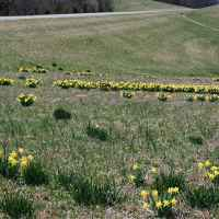 Field of daffodills blooming just south of the TN Hwy 7 intersection.