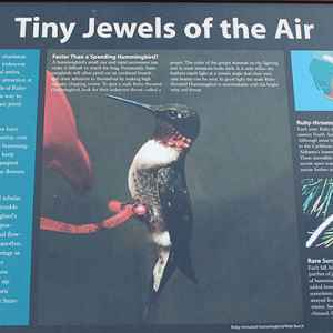 In the fall, Ruby-throated hummingbirds come to this area to feed on the nectar of jewelweed and other wildflowers.