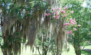 Spanish Moss and a flowering crepe myrtle grace the grounds at Mount Locust.