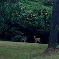 Deer Roaming at Collina Plantation Inn Bed and Breakfast.