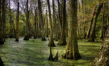 Trees In The Cypress Swamp