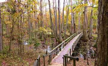 This is the first view seen before descending the steps for a closer look at majestic gnarled stumped cypress trees of the Cypress Swamp.