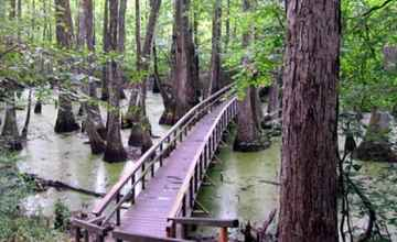 Summer view of Cypress Swamp.