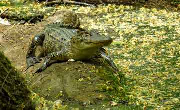Gator at Cypress Swamp on the Natchez Trace Parkway.