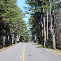 Tunnel of pine trees near milepost 164.