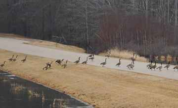 A flock of Canada Geese crossing the picnic area access road.