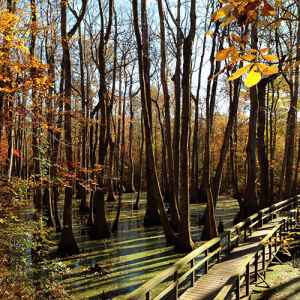 Canton - Ridgeland - Jackson area: Fall foliage view of the wooden footbridge at Cypress Swamp.