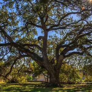 Live Oak at Memorial Park - Natchez, Mississippi