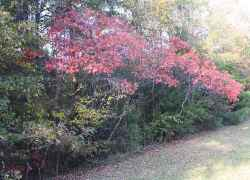 Dogwoods turned red at Dogwood Valley. Natchez Trace Parkway