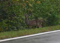 Deer are plentiful along the parkway.