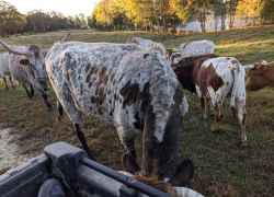 Cattle at Farmhouse Sanctuary B&B - Florence, AL.