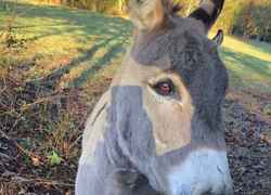 Donkey posing for the camera at Farmhouse Sanctuary B&B - Florence, AL